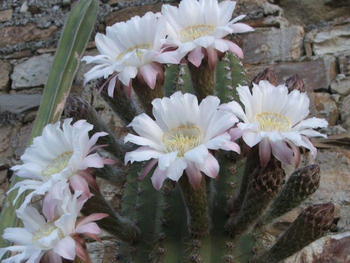 Vendita cactus fioriti e piante grasse a imperia sihappy for Cactus piante grasse