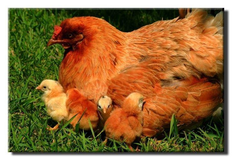 mangimi per galline ovaiole ed uccelli da caccia