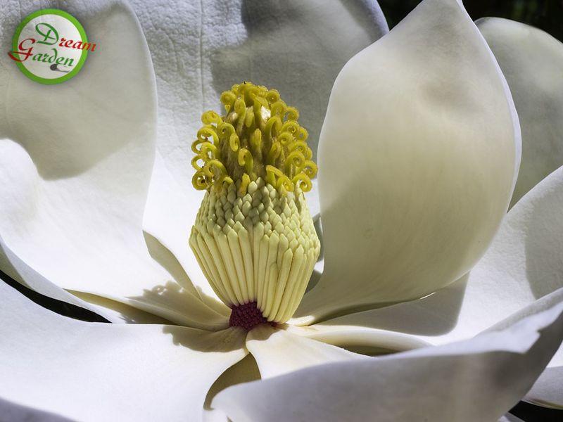 scopri il significato della magnolia