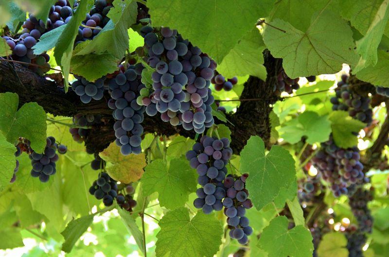 Da Peppe e Lucia  trovi l'uva fragola in offerta!