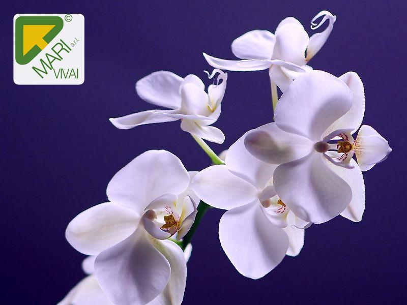 Offerta piante fiori San Valentino - Promozione Orchidea Roma - Vivai Mari