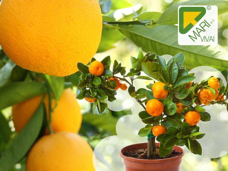 Offerta Piante fiori  San Valentino - Promozione Albero da frutta nano Roma - Vivai Mari