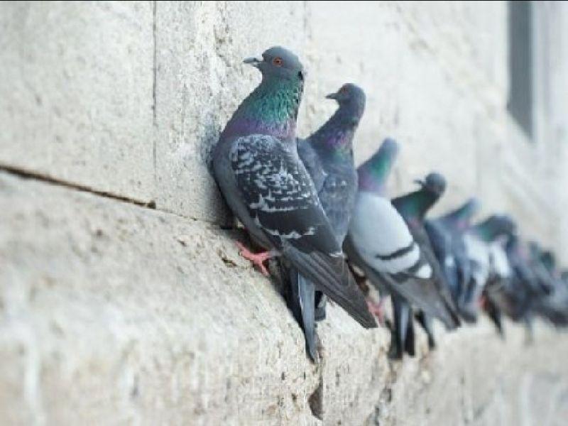 Offerta allontanamento volatili-Offerta Sistemi di dissuasione piccioni gabbiani Piacenza Lodi