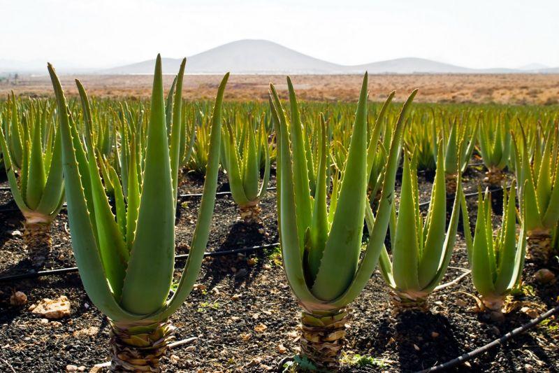 Promozione Aloe Primitivo - Offerta Gel Aloe Zuccari Erbolandia Vicenza