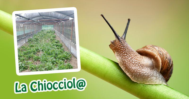 offerta allevamento lumache helix aspersa - occasione vendita lumache biologiche italiane