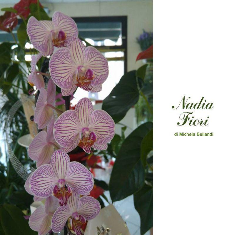 offerta promozione occasione orchidee maculate anche a domicilio nadia fiori brescia