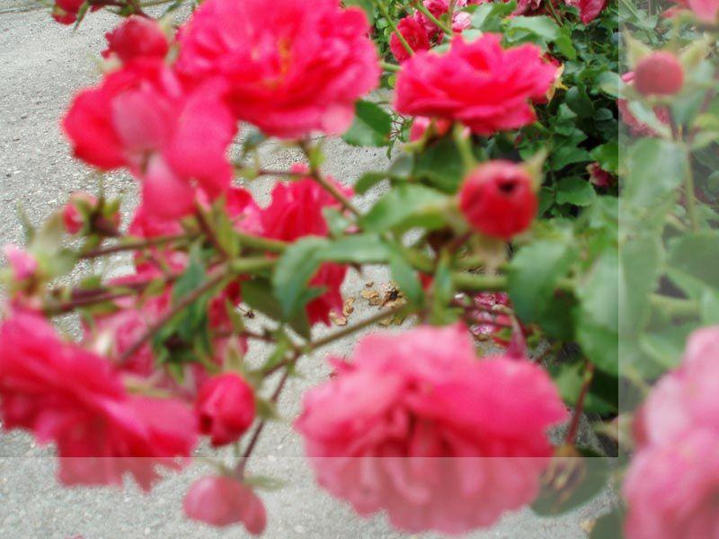 Promozione cespugli da fiore Treviso - Offerta piante Treviso - Aggio Vivai Piante