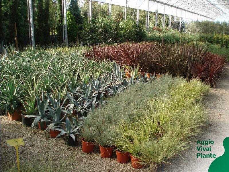 Offerta Vivaio - Promozione serra - Occasione coltivazione -  Aggio Vivai piante