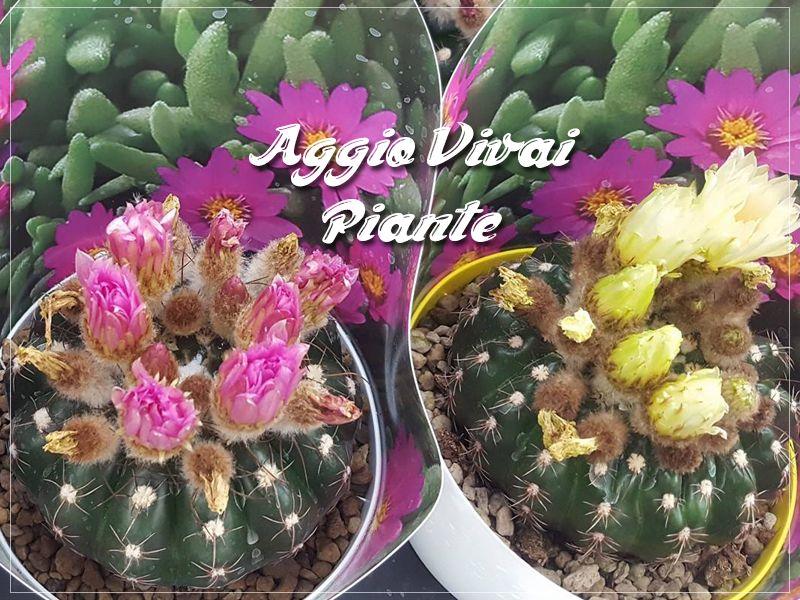Offerta vendita piante cactacee - Promozione distribuzione piante cactacee in fioritura
