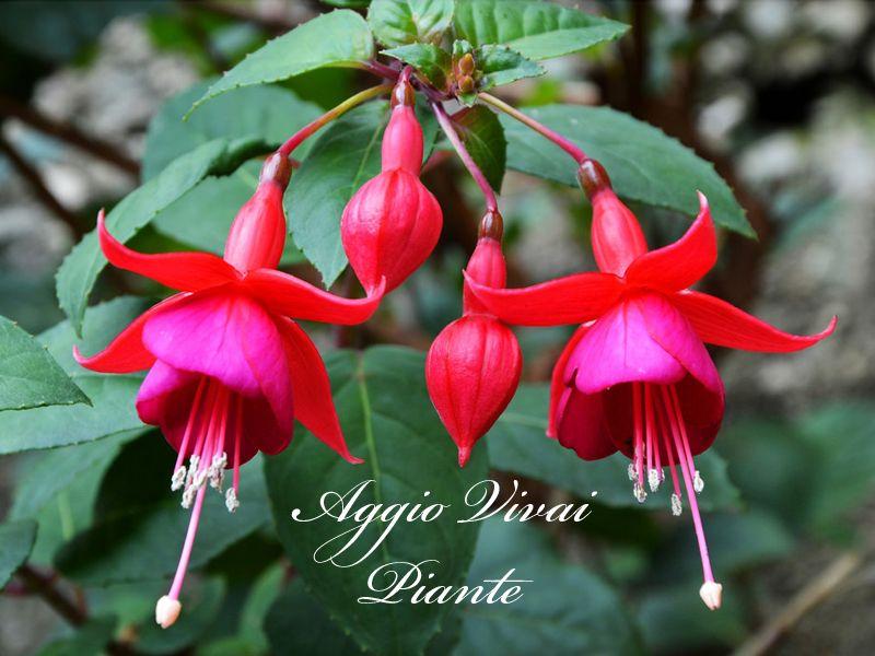 Offerta vendita piante Fuchsia - Promozione distribuzione piante Fuchsia  Aggio Vivai Piante