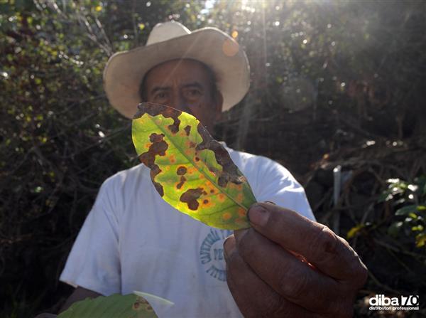 caffe e epidemia di roya il fungo che distrugge piantagioni in sud america presto problemi di rifornimento per paesi ue diba 70 distributori professionali rassegna stampa