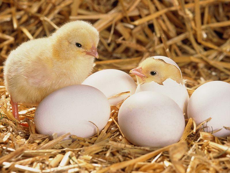 incubatrice 56 uova agrialba in promozione
