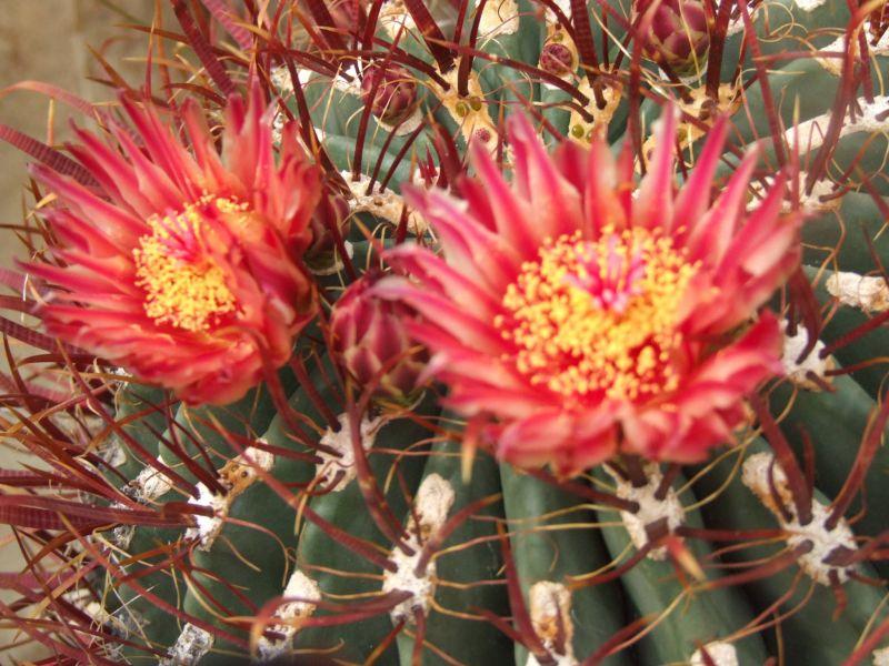 vendita cactus fioriti e piante grasse