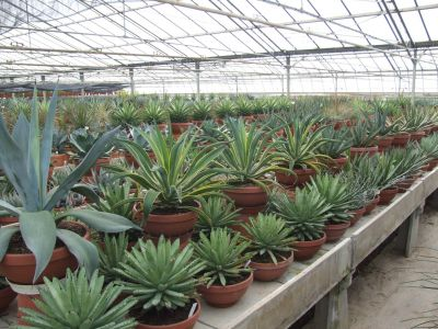 vendita agavi e piante grasse