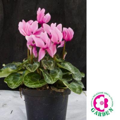 offerta ciclamini mini promozione piante autunno inverno bengarden varese