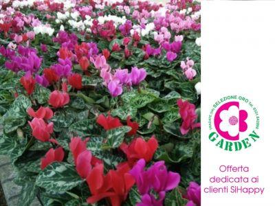 offerta ciclamini mini promozione piante autunno inverno clienti sihappy bengarden varese