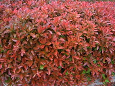 piante photinia siepe vaso bengarden varese offerta giardino