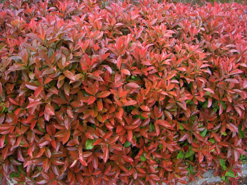 piante-photinia-siepe-vaso-bengarden-varese-offerta-giardino