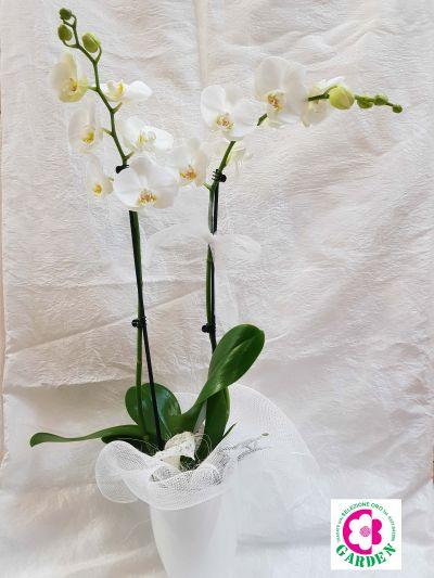 orchidee phalaenopsis da regalo varese piante ben garden offerta natale idee