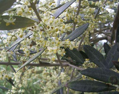 offerta vendita fiori di bach olivo occasione distribuzione prodotti naturali