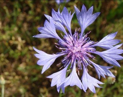offerta produzione fiore di bach centaurea occasione estratti floreali centaurea padova