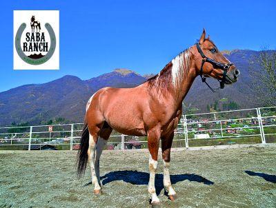 offerta stazione di monta lecco promozione stallone american paint horses saba ranch