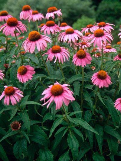 offerta vendita fitoterapia e omeopatici promozione integratori vendita echinacea padova