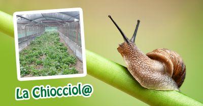 offerta allevamento lumache helix aspersa occasione vendita lumache biologiche italiane