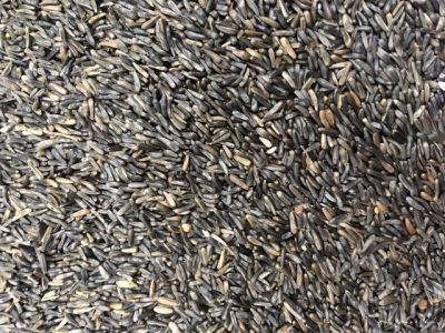 seme di niger germinabile per uccelli