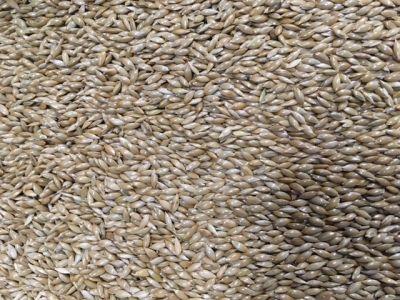 seme di scagliola canadese per ornitologia
