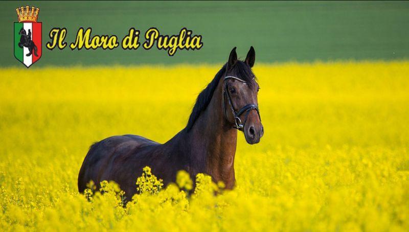 Addestramento cavallo murgese taranto Puglia - doma puledri cavalli salto dressage crispiano