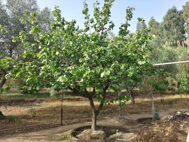 offerta piante da frutto in varieta' pietrasanta-promozione piante da frutto in varieta'