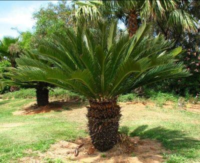 offerte piante tropicali e palme assortite forte marmi promozione piante tropicali e palme