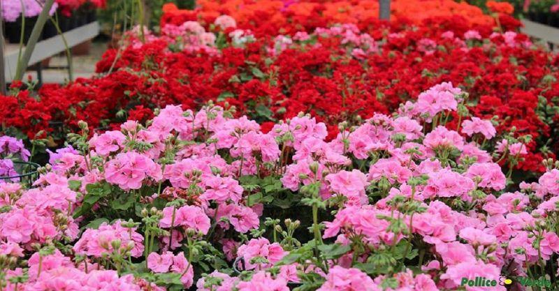 POLLICE VERDE - occasione vendita e esposizione piante e fiori Viareggio