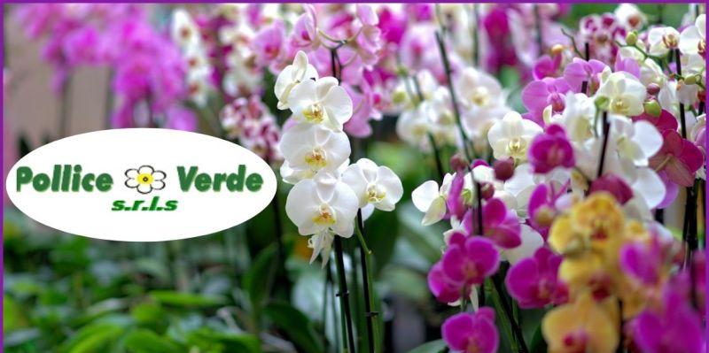 promozione vivaio vendita orchidee di diverse specie Lucca e Versilia - POLLICE VERDE