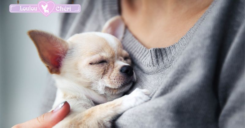 Offerta vendita cuccioli chihuahua nati in casa a Torino -  cani chihuahua in vendita a Torino