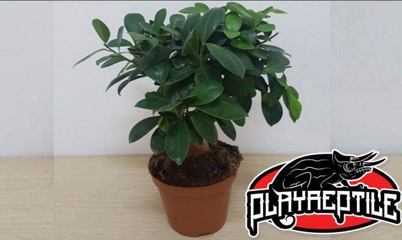 Offerta bonsai ficus bari molfetta - promozione pianta bonsai ginseng piante da interni