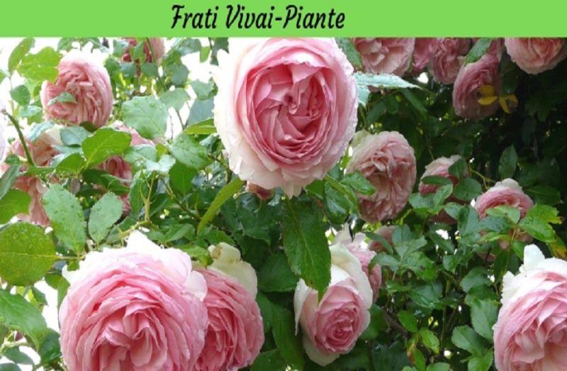 Fiori Parma Fiori e Piante Parma Rose Parma