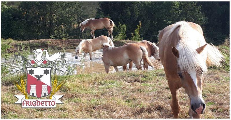 Azienda Agricola Frighetto - Occasione allevamento cavalli razza Haflinger Chiuppano Vicenza