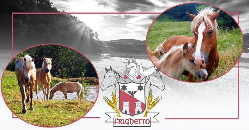 Offerta vendita giovani puledri Haflinger Vicenza - Occasione Allevamento cavalli Razza Haflinger Vicenza