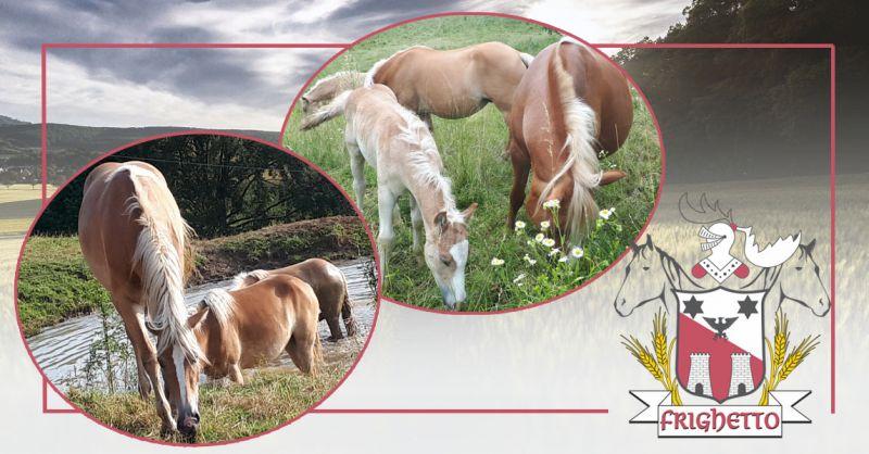 Offerta Servizio Monta Naturale con stalloni Haflinger Vicenza - Occasione vendita di cavalli adulti Razza Haflinger