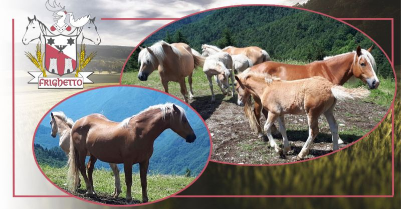 Offerta cavalli haflinger in vendita nord italia - Occasione Allevamento Cavalli avelignesi Veneto