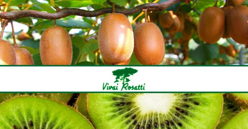offerta produzione piante di kiwi - occasione vendita pianta da frutto kiwi