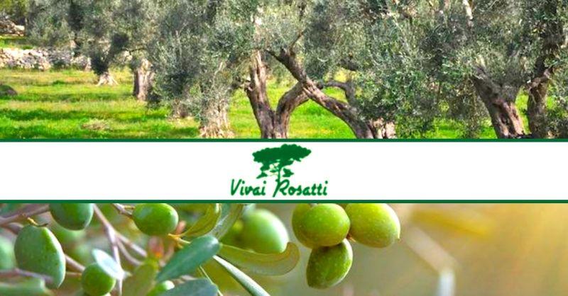 VIVAI ROSATTI - offerta vendita piante di ulivo - occasione produttori specializzati in olivi