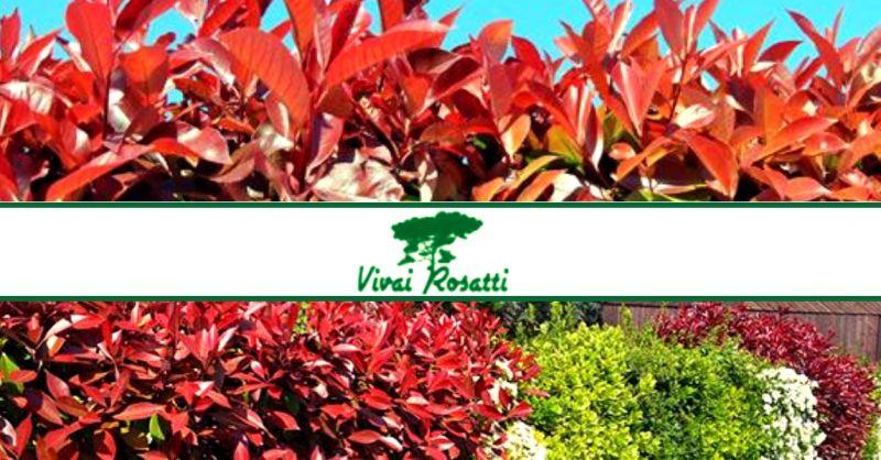 offerta produzione piante da siepe - occasione vendita arbusti di Photinia per siepe