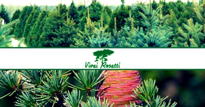 offerta produzione e vendita alberi di natale veri - occasione vendita di Cedri sempreverdi