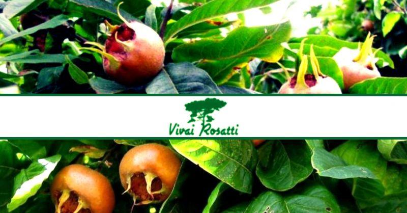 offerta dove acquistare piante di nespolo - occasione produzione e vendita alberi di nespole
