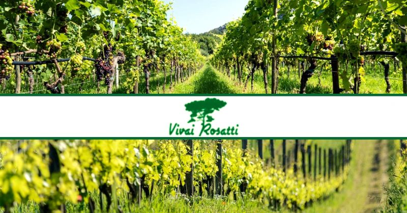 offerta realizzazione di vigneti - occasione servizio di viticoltura professionale