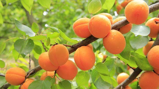 offerta azienda specializzata nella produzione piante di albicocco