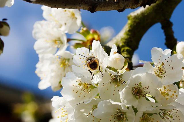 Offerta produzione propria di piante di ciliegio